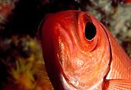 Bigeye (Priacanthus arenatus) Saba