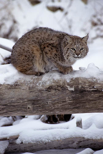 Bobcat (Lynx rufus) on a fallen log during the wintertime.  Captive Animal.