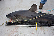 porbeagle shark, Lamna nasus, with Xeos satellite tag attached, ready to be released for tracking in the Bay of Fundy, New Brunswick, Canada