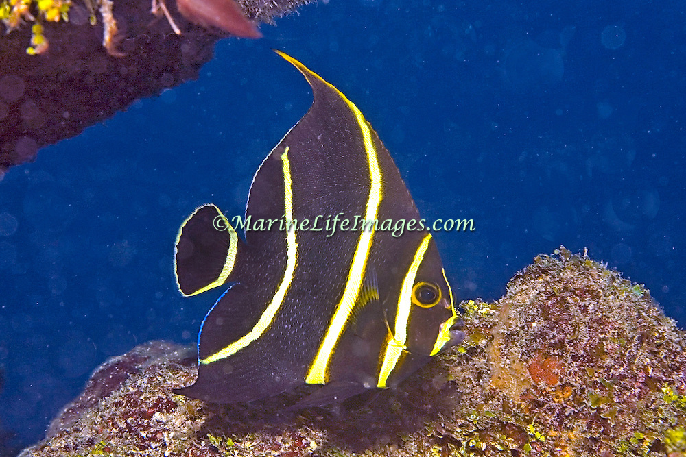 French Angelfish inhabit reefs and sandy areas in Tropical West Atlantic; picture taken  Utila, Honduras.