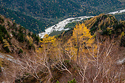 """View of larch trees from atop the Panorama Course trail, above our entry hike along Azusa River. The karamatsu, or Japanese larch (Larix kaempferi or Larix leptolepis) is a tree native to Japan, in the mountains of Chubu and Kanto regions in central Honshu. Its needle-like leaves are light glaucous green, turning bright yellow to orange before falling in autumn. The scientific name honours Engelbert Kaempfer. Karasawa cirque is cradled by the Hotaka Mountains, in the """"Northern Japan Alps"""" (Hida Mountains) in Chubu-Sangaku National Park, Japan. Within the cirque, two lodges provide beds and meals for hikers and climbers: Karasawa Goya and Karasawa Hutte. Also known as Mount Hotaka or Hotaka-dake, the Hotaka Mountains reach 3190 meters elevation atop Mount Oku-Hotaka, Japan's third highest peak. About 2000 meters in diameter, the cirque bottoms out at 2300 m elevation. Snow melting here forms the River Azusa which flows through Kamikochi valley below."""
