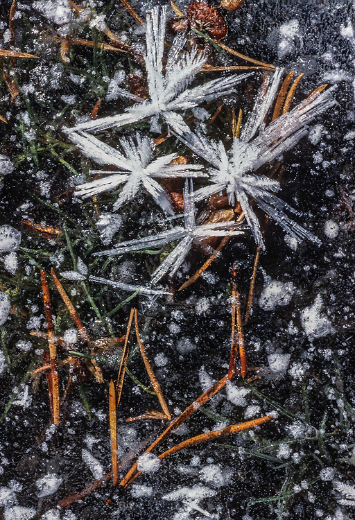 Frost and pine needles, autumn, Yellowstone National Park, Wyoming, USA