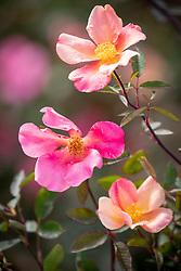 Rosa × odorata 'Mutabilis' syn. Rosa chinensis 'Mutabilis'.  Tea rose