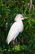 Cattle Egret - Bubulcus ibis - adult breeding plumage