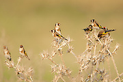 A flock of European goldfinchws (Carduelis carduelis) perched on a twigs. Photographed in the Northern Negev, Israel in October