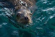 California sea lions (Zalophus californianus), Isla Los Islotes, Sea of Cortez , Baja Mexico,