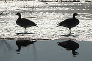 Mamakating, New York - Canada geese bookends at the Bashakill Wildlife Management Area on March 24, 2015.