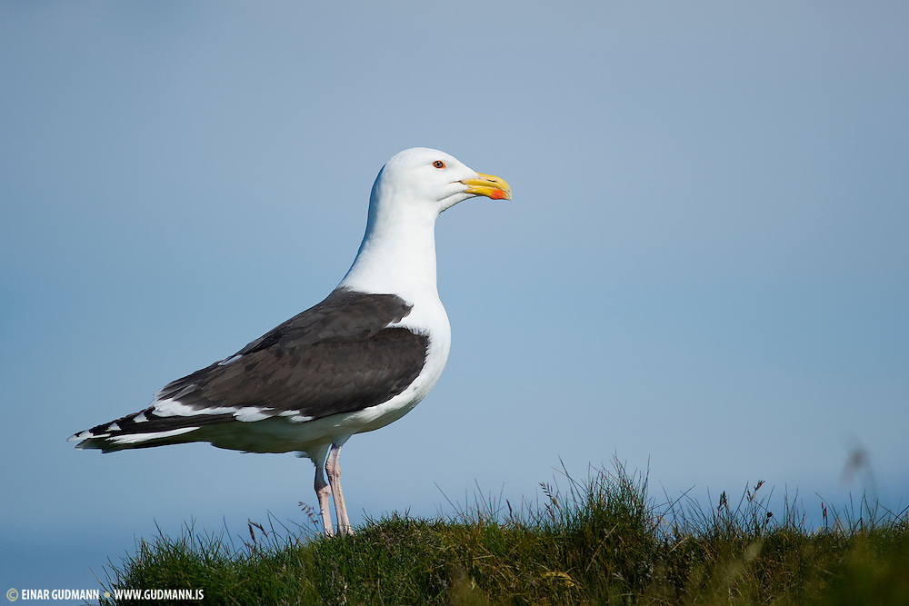 This is the largest gull, bigger than a Herring Gull. It is 71-79 cm (28-31 in) long with a 1.5-1.7 m (5-5.7 ft) wingspan and a body weight of 1.3-2 kg (2.9-4.4 lb), though large males regularly exceed this weight. It is bulky, and has a powerful bill.