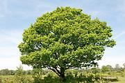 English Oak Tree, Quercus robur, Hothfield Heathlands, Kent UK, Kent Wildlife Trust, view showing whole tree and shape, British native tree,