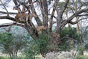 Kenya, Lake Nakuru National Park, 5 Lioness waiting in tree, February 2007