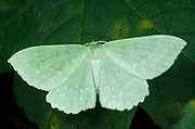 Close-up of a Large emerald moth (Geometra papilionaria) resting on a leaf in a Norfolk woodland habitat in summer
