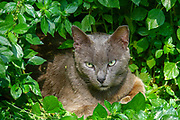 Alert cat hides in the bushes looking at camera