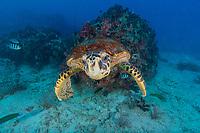 Sea Turtle Seychelles Reef