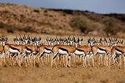 Kagalagadi Transfrontier Park. Springbok(Antidorcas marsupialis): the springbok is a small gazelle of brown and white