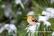 01640-16518 American Goldfinch (Spinus tristis) in winter plumage in pine tree Marion Co. IL