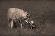 Image of a mountain coyote and her cub in the grasslands of Montana, Pacific Northwest by Randy Wells
