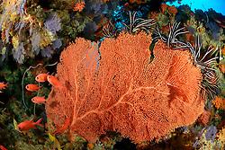 Subergorgia sp., Korallenriff mit Riesen Gorgonienfaecher, Coralreef with Giant Seafan, Fancoral, Malediven, Indischer Ozean, Baa Atoll, Maldives, Indian Ocean