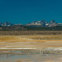 Gulls rest by an alkaline pond in the Sierra Nevada near Mammoth Lakes, California.  Behind are the Minarets and Mounts Ritter and Banner.