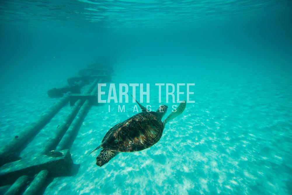 A (Chelonia mydas) Green turtle feeds on sea grass, Maldives. Greenpeace/Paul Hilton