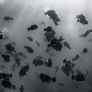 Massive spawning aggregation of bumphead parrotfish (Bolbometopon muricatum) in the early morning, involving thousands of individuals. During a short span of time, the fish coordinate release of large quantities of sperm and eggs into the water, creating fog-like white-out conditions.