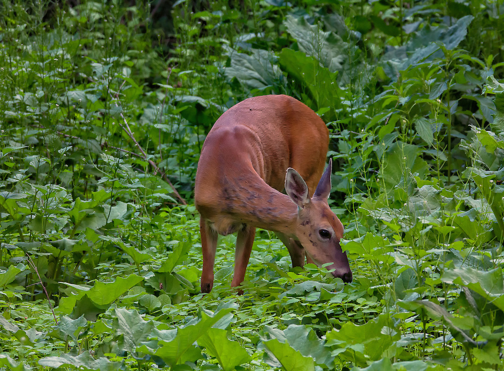 The white-tailed doe still browsing and sampling the vegetation trying to decide what to eat.
