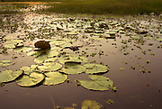 Spectacled Caimen, Caiman crocodilus, Blanco Lake, floating resting in water lillies, Peru, nocturnal, sunset, water reflections, wide angle, camouflaged, hidden. .South America....