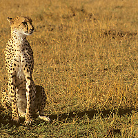 Africa, Kenya, Maasai Mara. A cheetah, the fastest land animal, looks anything but fast while resting in the Maasai Mara sun.