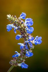 Hoverfly on Salvia uliginosa AGM. Bog sage
