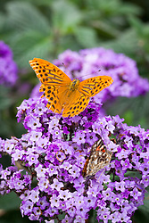 Male Silver washed fritillary butterfly - Argynnis paphia - on Heliotropium arborescens 'Marine'. Heliotrope