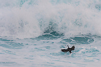 Cape Cormorant landing to feed in the surf zone, Tsitsikamma Marine Protected Area, Garden Route National Park, Eastern Cape, South Africa,