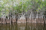 Thicket of red mangroves (Rhizophora mangle) along the Nine Mile Pond Canoe Trail in Everglades National Park, Florida.