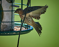 Female House Finch. Image taken with a Nikon D5 camera and 600 mm f4 VR lens