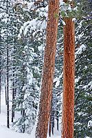 Ponderosa Pine forest (Pinus ponderosa) in winter Okanogan National Forest Washington USA