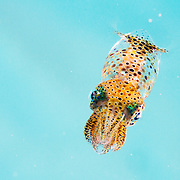 A small squid (possibly grass squid, Pickfordiateuthis pulchella) portrait in The Bahamas.