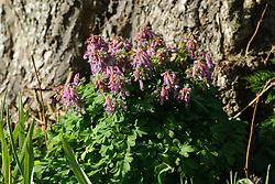 Vingerhelmbloem, Corydalis solida