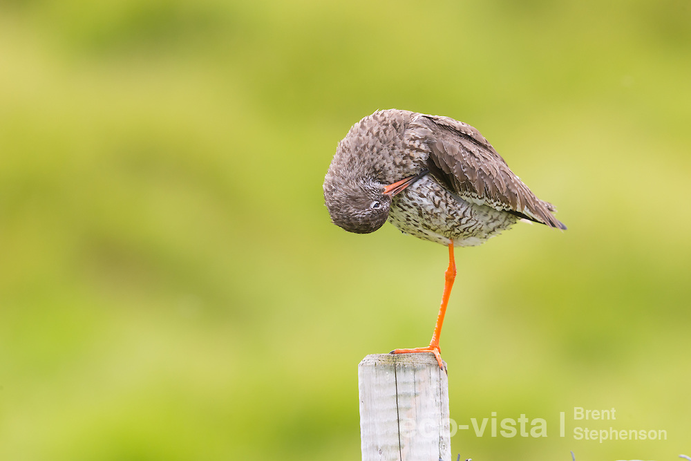 Adult common redshank (Tringa totanus) perched on top of a fence post preening. This bird had a chick nearby and was keeping a lookout in order to protect it. Flatey, West Fjords, Iceland. July.