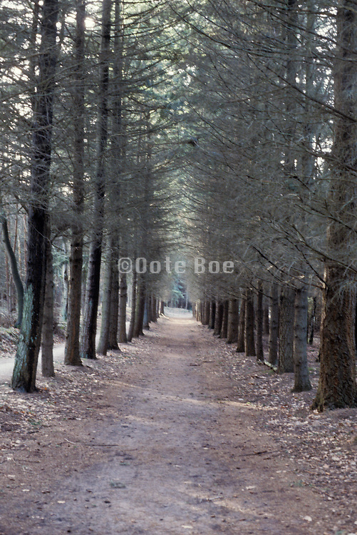 wooded lawn with pine trees