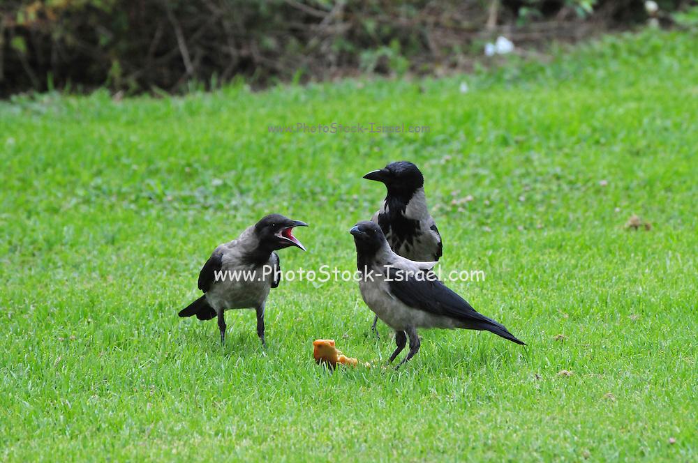 Israel, three Hooded Crows (Corvus corone cornix) on the lawn