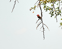 Vermilion Flycatcher (Pyrocephalus rubinus). Crooked Tree Wildlife Sanctuary. Image taken with a Nikon D3x camera and 70-300 mm VR lens