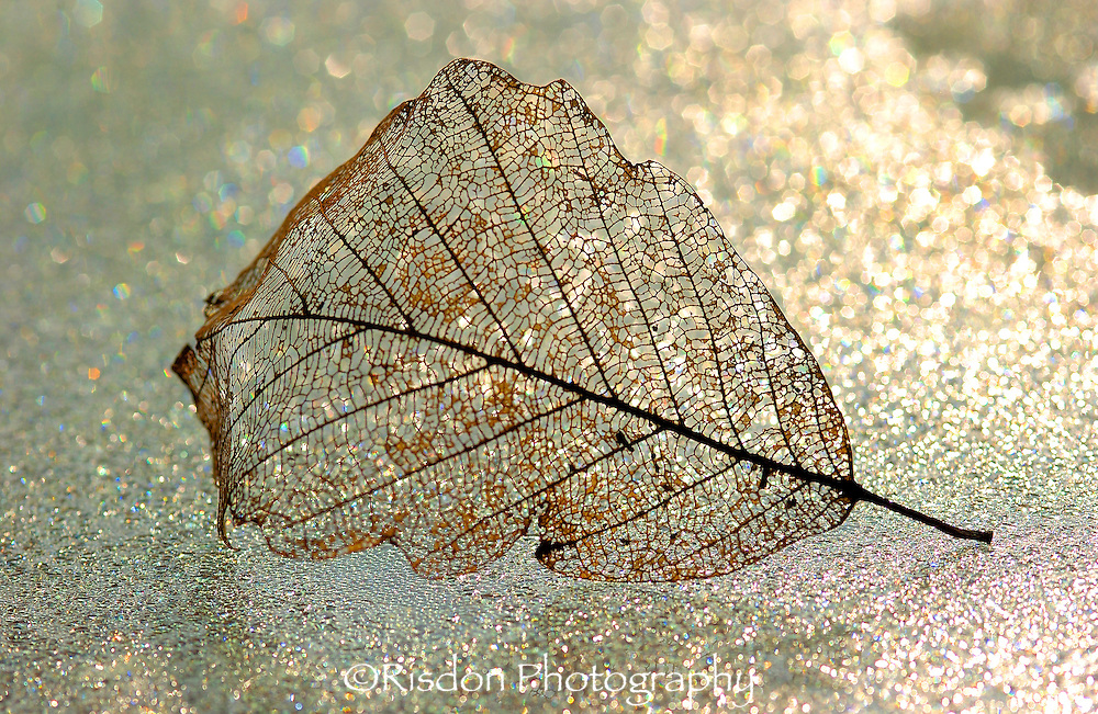 Decayed leaf on icy table