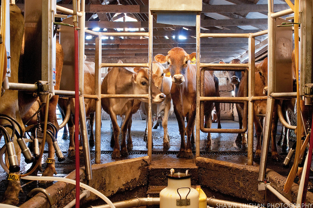 The cows are milked twice a day for 12-14 months with two months off.