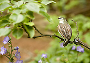 A fake partridge in a pear tree. Plenty of live birds keep the pretender company. (Mike Siegel / The Seattle Times)