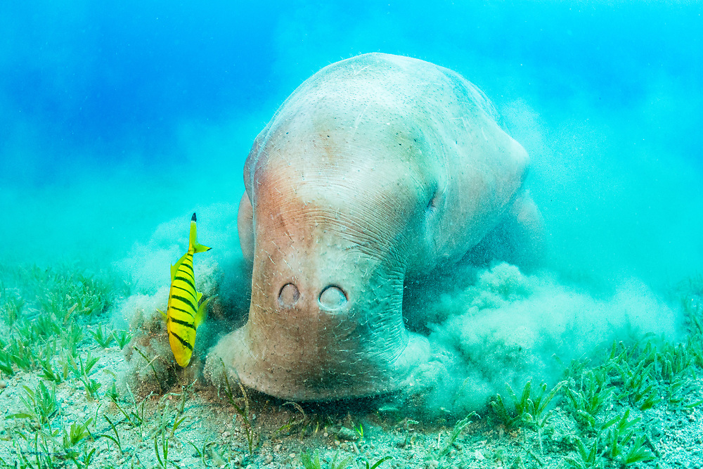 Dugongs, a species Vulnerable to Extinction, feed only on seagrass. One of the largest threats to the species is declining seagrass habitats.