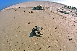 Loggerhead Hatchling Heading To Ocean