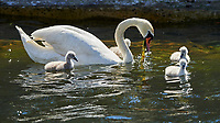 Mute Swan (Cygnus olor). Copenhagen, Denmark. Image taken with a Nikon D4 camera and 80-400 mm VR lens.