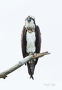 Elegant Rachel the Osprey