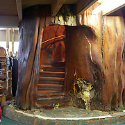 Ancient Kauri Kingdom is a multi-award winning business that has pioneered the commercial extraction, milling and manufacture of Ancient Kauri wood. A giant Ancient Kauri staircase is the centre piece for the Ancient Kauri Kingdom showroom and retail outlet at the shop and factory at Awanui in far north New Zealand. Carved from a 50 tonne section of one giant swamp kauri log estimated to weigh 140 tonnes it is the largest swamp kauri log ever known to have been extracted, and because of this it was never milled..Radiocarbon dating confirmed that this tree had been perfectly preserved in the swamp for 45,000 - 50,000 years. Growth rings tell us it had lived 1087 years before it fell more than 45,000 years ago. Awanui, Northland, New Zealand.  21st November 2010. Photo Tim Clayton.