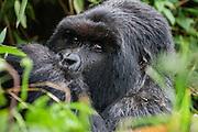 A  Silver-backed mountain gorilla (Gorilla beringei beringei)  in through the forest, Volcanoes National Park, Rwanda