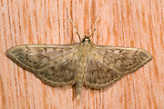 Close-up of a mother of pearl moth (Pleuroptya ruralis) resting by day on a wooden panel in a Norfolk garden in summer