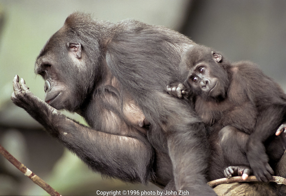 Binti Jua, a western lowland gorilla, and her daughter Koola rests on a tree branch in the gorilla enclosure at the Brookfield Zoo. (photo by John Zich)